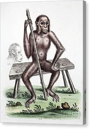 British Orangutan, Edwards, 1757 Canvas Print by Paul D. Stewart