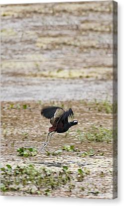 Bronze Winged Jacana Canvas Print by Ramabhadran Thirupattur
