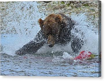 Brown Bear Diving In Water Trying To Catch Salmon Canvas Print by Dan Friend