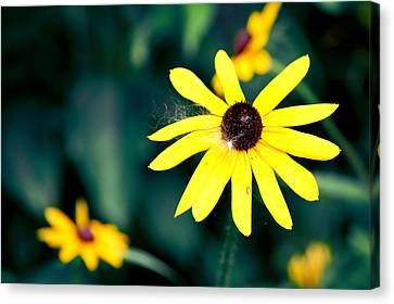 Brown Eyed Susan Canvas Print by Jame Hayes