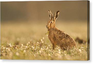 Brown Hare  Canvas Print by Paul Neville