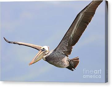 Brown Pelican Flying Canvas Print by Wingsdomain Art and Photography