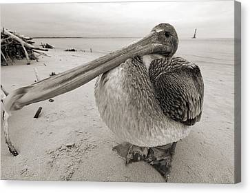 Brown Pelican Folly Beach Morris Island Lighthouse Close Up Canvas Print by Dustin K Ryan