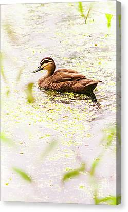 Brown Pond Duck Canvas Print by Jorgo Photography - Wall Art Gallery