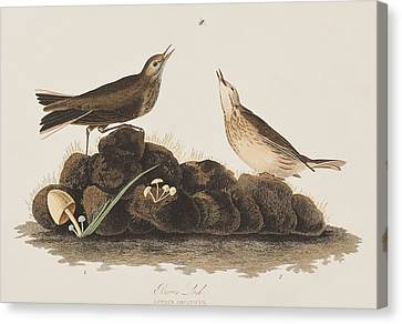 Brown Titlark Canvas Print by John James Audubon