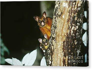 Brush-tailed Possum With Young Canvas Print by B. G. Thomson