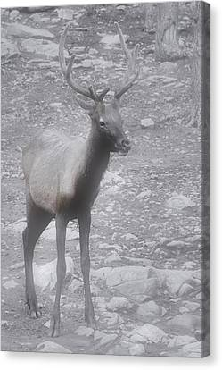 Buck In Fog On Hurricane Ridge - Olympic National Forest - Olympic National Park Wa Canvas Print by Christine Till