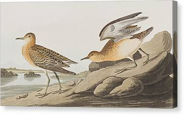 Buff Breasted Sandpiper Canvas Print by John James Audubon
