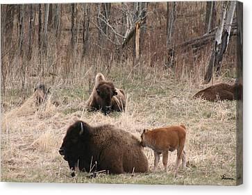 Buffalo And Calf Canvas Print by Andrea Lawrence