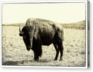 Buffalo In Sepia Canvas Print by Tony Grider