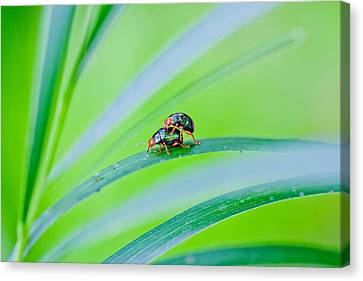 Bug Mating Canvas Print by Az Jackson