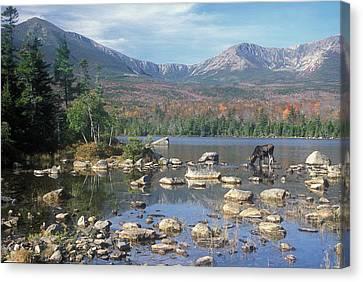 Bull Moose Feeding In Sandy Stream Pond Canvas Print by John Burk