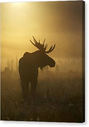 Bull Moose In Fog Canvas Print by Tim Grams