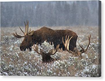 Bull Moose In The Snowy Meadow Canvas Print by Adam Jewell
