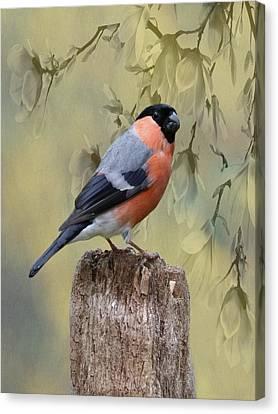 Bullfinch Bird Canvas Print by Movie Poster Prints