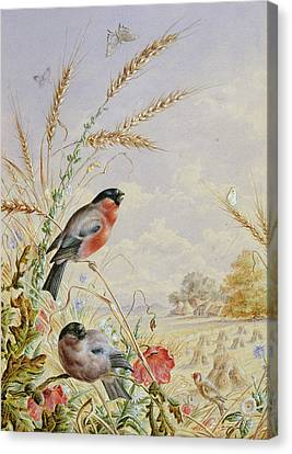 Bullfinches In A Harvest Field Canvas Print by Harry Bright