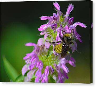 Bumblebee On Horsemint Canvas Print by Dennis Nelson