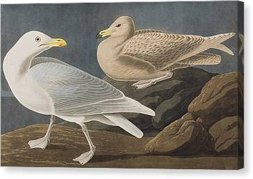 Burgomaster Gull Canvas Print by John James Audubon