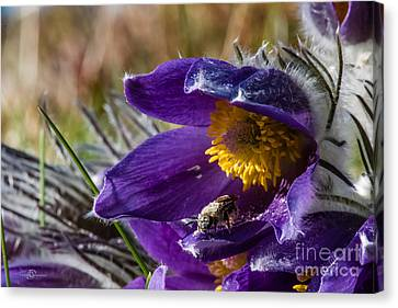 Busy Bee Canvas Print by Torbjorn Swenelius