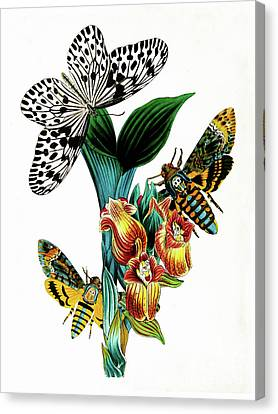 Butterflies, Moths And Orchids, Vintage Botanical Painting Canvas Print by Tina Lavoie