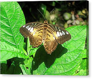 Butterfly Of Brown Wings On Green  Canvas Print by Mario Perez