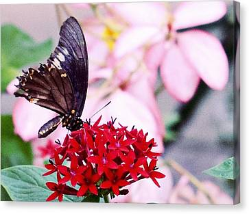 Black Butterfly On Red Flower Canvas Print by Sandy Taylor