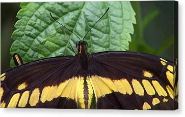 Butterfly Perched On A Leaf Canvas Print by Lanjee Chee