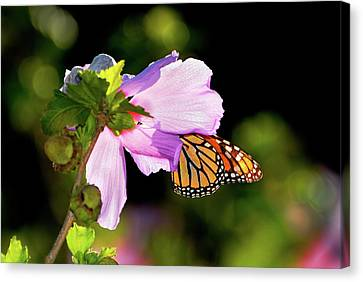 Butterfly Sunset Canvas Print by Betty LaRue