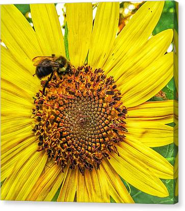 Buzz Word-sunflower Canvas Print by Jame Hayes