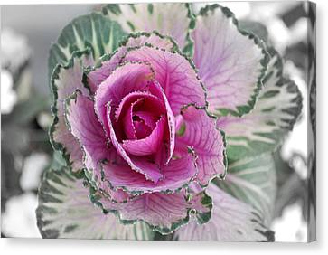 Cabbage  Flower Canvas Print by Terence Davis