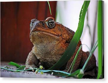 Cain Toad Canvas Print by Robert Meanor