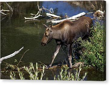 Calf Moose Canvas Print by Marty Koch
