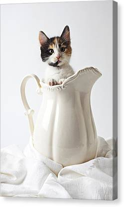 Calico Kitten In White Pitcher Canvas Print by Garry Gay