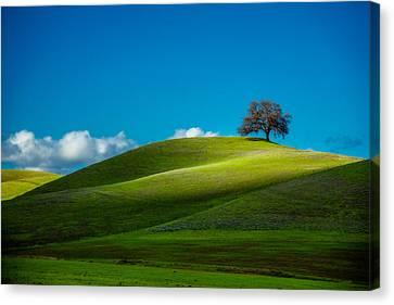 California Black Oak Canvas Print by Dan Holmes