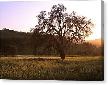 California Hwy 25 Oak Canvas Print by Kathy Yates