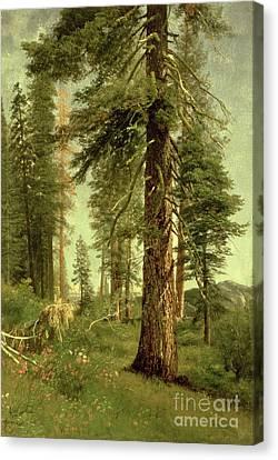 California Redwoods Canvas Print by Albert Bierstadt