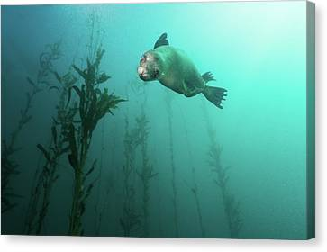 California Sea Lion In Kelp Canvas Print by Steven Trainoff Ph.D.