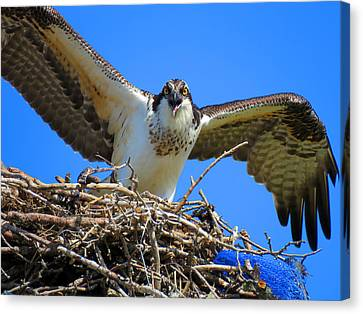 Call Of The Osprey Canvas Print by Dianne Cowen