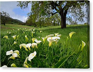 Calla Lilies And The Oak Canvas Print by Kathy Yates