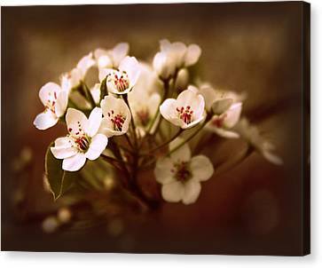 Callery Pear Canvas Print by Jessica Jenney