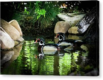 Calm Waters - Wood Ducks Canvas Print by TL Mair