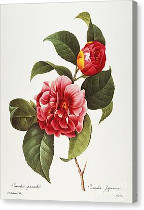 Camellia, 1833 Canvas Print by Granger