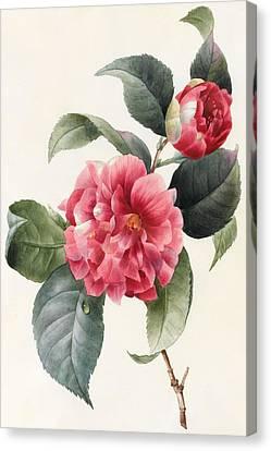 Camellia Canvas Print by Louise D'Orleans