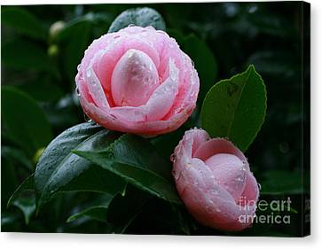 Camellias Canvas Print by Gaspar Avila