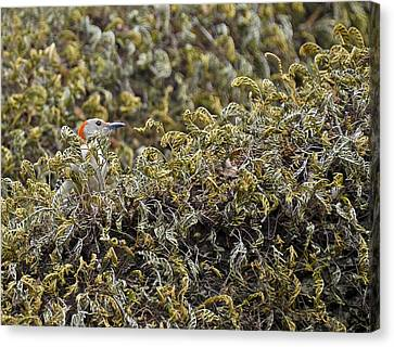 Camouflaged Red-bellied Woodpecker Canvas Print by Carolyn Marshall