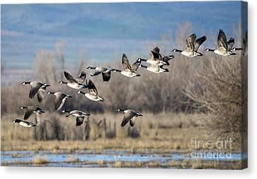 Canada  Geese Flock Canvas Print by Mike Dawson