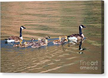Canada Goose Family Canvas Print by Mike Dawson