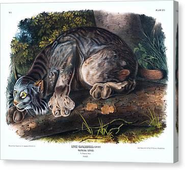 Canada Lynx Antique Print Audubon Quadrupeds Of North America Plate 16 Canvas Print by Orchard Arts