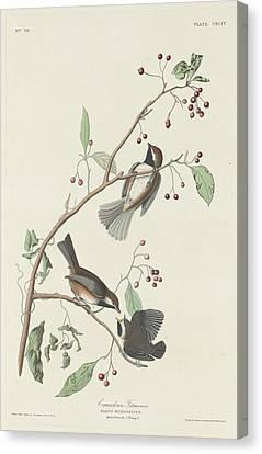Canadian Titmouse Canvas Print by John James Audubon