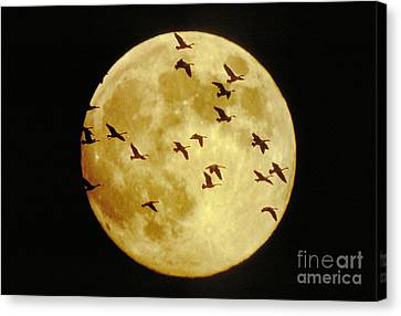 Canda Geese And Moon Canvas Print by Kenneth Fink and Photo Researchers
